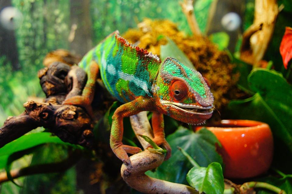 chameleon-226287_960_720