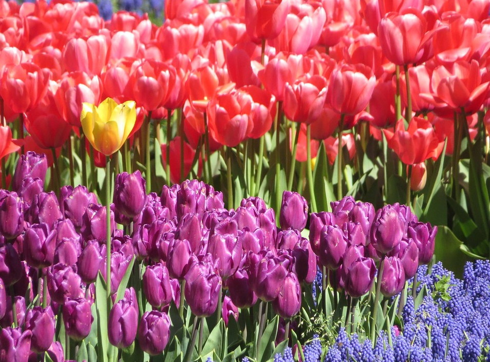 unique tulip